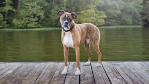 boxer 300x169 - Какую породу собак выбрать для ребенка. Лучшие породы для детей