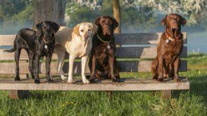 labrador retriever 300x169 - Какую породу собак выбрать для ребенка. Лучшие породы для детей
