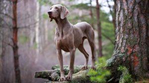 weimaraner 300x169 - Какую породу собак выбрать для ребенка. Лучшие породы для детей