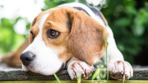beagle 300x169 - Какую породу собак выбрать для ребенка. Лучшие породы для детей