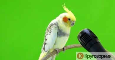 kak nauchit popugaya govorit sovety iz opyta 390x205 - Как научить попугая говорить. Советы из опыта