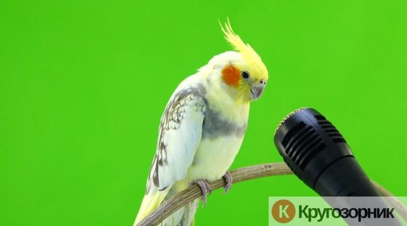 kak nauchit popugaya govorit sovety iz opyta 800x445 - Как научить попугая говорить. Советы из опыта